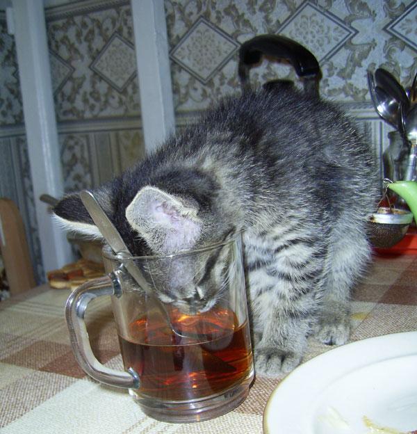 картинки с котами и чаем и мы не подкачаем очень распространена