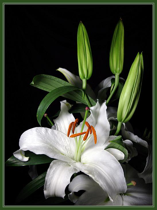 Красивые открытки с белыми лилиями