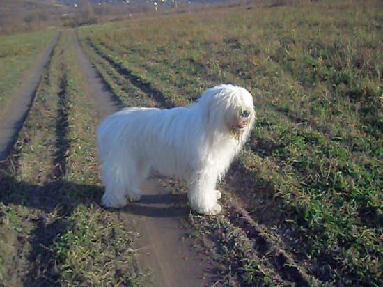 овчарки в омске: азиатская овчарка алабай.