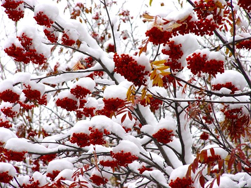 Лучшей бабушка, картинки анимация рябина на снегу