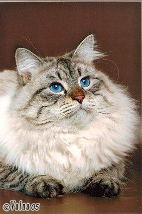 Фото отца котят: Невский маскарадный кот Большой