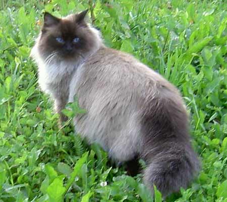 Барби, невская маскарадная кошка окраса сил-поинт, наша бабушка.
