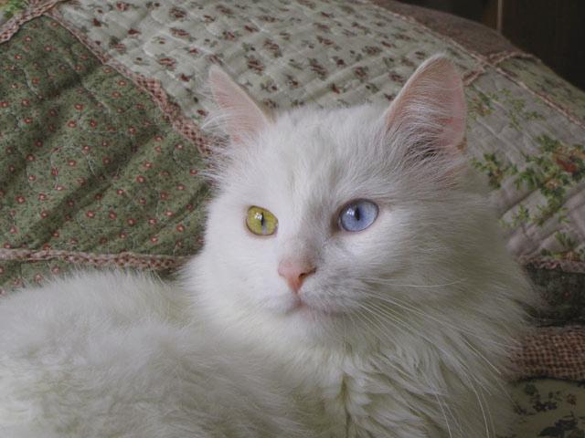 нём хотим фото белого пушистого кота с разными глазами круглая расческа фен