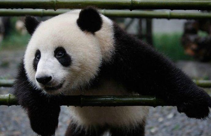 панды опасны для человека рисунков