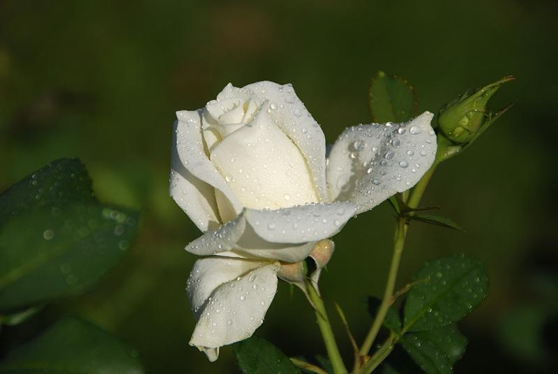 Картинки белых роз с надписями, платье шаблон